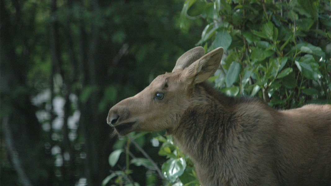 Sideview of deer standing in the dense forest.