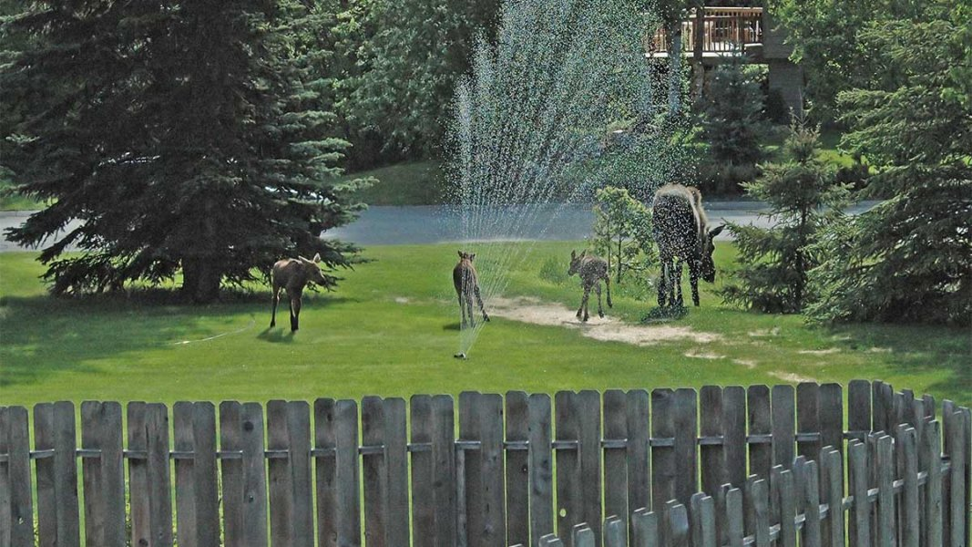 Deer grazing on lawn by stream with sprinkler watering grass, wooden picket fence in front and dense trees in distance.