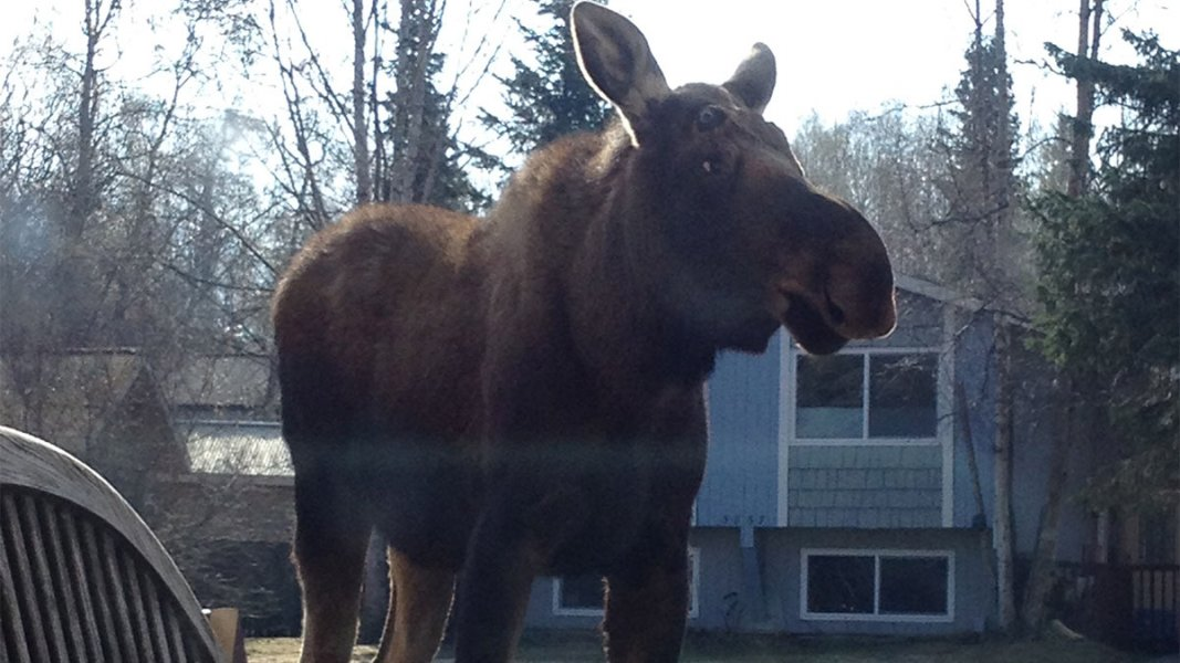 Moose standing in yard by blue house surround by tall evergreen trees.