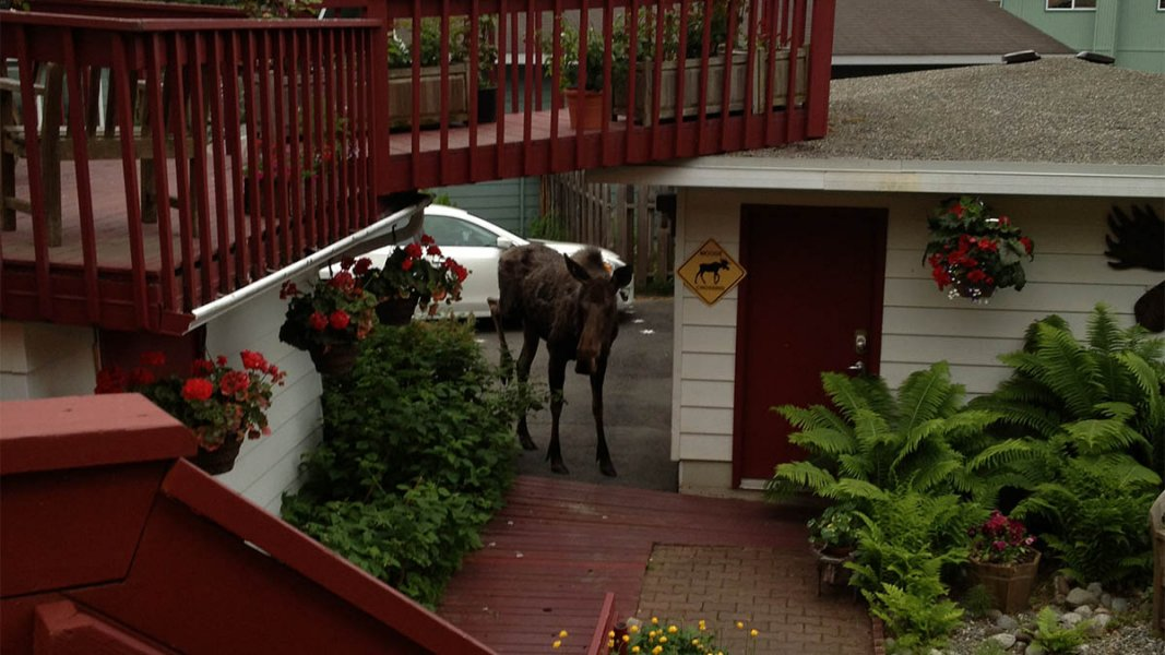 Moose walking from driveway under wooden deck, hanging potted red flowers, yellow moose crossing sign on building.