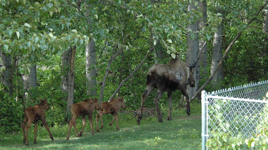Family of moose (1 adult and 3 babies) walking by chain link fence heading toward woods.